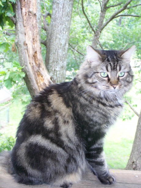 free maine coon